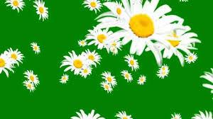 flower fall greenscreen free
