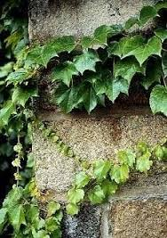 Gardening Arts - Boston Ivy price 300Rs Small plant... | Facebook