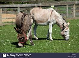 Donkies grazing, Ada Cole Rescue Centre, Redwings Horse Sanctuary Stock  Photo - Alamy