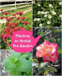 planting an herbal tea garden mom