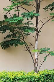leopard tree caesalpinia ferrea