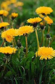 dandelion growing info how to grow and