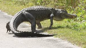 Alligator Climbs Fence At Florida Naval Air Station In Viral Video