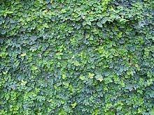 Ficus Pumila Wikipedia The Free Encyclopedia Ficus Pumila Creeping Fig Garden Vines
