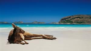 australia kangaroos beach wallpaper