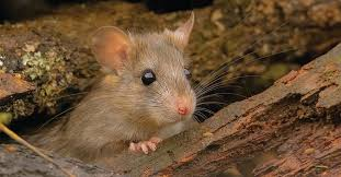 Many small critters, including rodents,... - Animal Traps ...