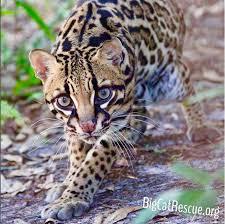 Big Cat Killings Big Cat Maulings Big Cat Escapes