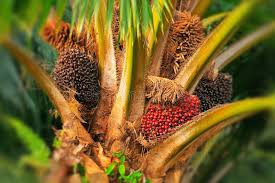 Modern Method of Oil Palm Cultivation