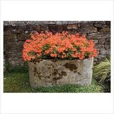 orange pelargonium in old stone trough