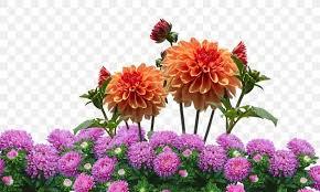 dahlia flower garden flower garden