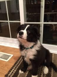Collie dog, Border collie puppies ...