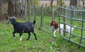 Goats Encourage Return Customers Business Agupdate Com