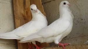 صور طيور حمام