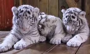 newborn white tiger triplets struggle