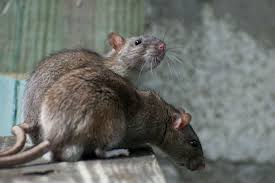 how to get rid of rats the right way