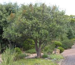 pin on indigenous trees of south africa