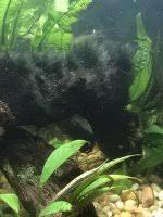 twig catfish eat black hair algae
