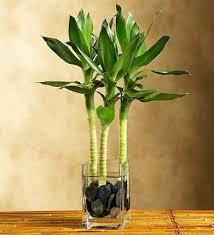 long glass vase for bamboo plant