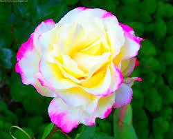 اجمل ورود في العالم الورد وجمال الطبيعة دلع ورد
