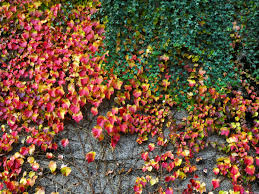 Don T Bother With A Living Wall Plant Some Ivy Gardening Advice The Guardian