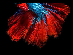 betta fish screensaver video for