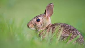 Rabbit Repellent Natural Options In The Garden Gardeners Com