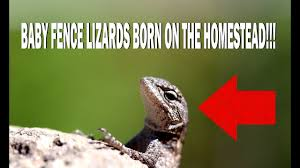 Baby Fence Lizards Born On The Homestead Youtube