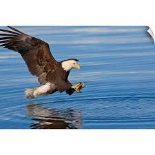 Bald Eagle Prepares To Grab Fish Inside Passage Southeast Alaska Wall Decal Ebay