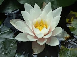 Free Images : flower, fragrant white water lily, petal, aquatic ...
