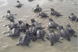 Sea Turtles Of The Gulf Of Mexico Springerlink