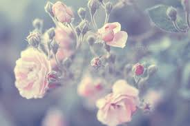 pastel rose background stock photo by