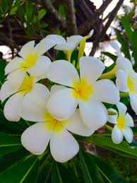 صور الورد الياسمين