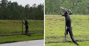 Scary Video Shows Alligator Climbing A Fence Elite Readers