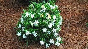 frost proof gardenia 3 gallon