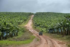 Nieuwe bananenrassen om oogst in Afrika te redden - Food & Agribusiness
