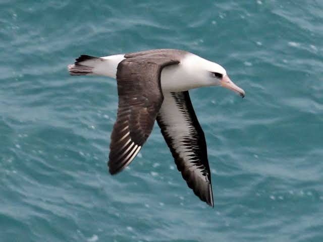 Laysan Albatross wisdom