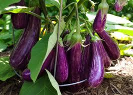 growing and harvesting eggplants