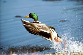 waterfowl wallpaper 53 pictures
