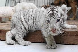 white tiger baby newborn baby white