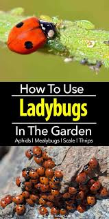 why and how to use lady bugs in the garden
