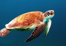 Sea Turtles Smithsonian Ocean