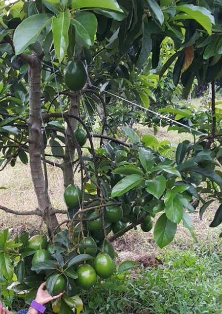 pohon alpukat miki