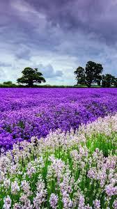 lavender flower filed garden iphone 8