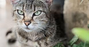natural cat repellent for your garden