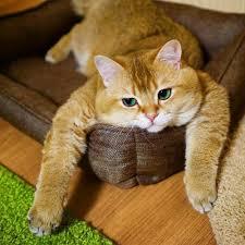 Chú mèo đi hia béo ục ịch khiến bạn muốn ẵm ngay về nuôi - Báo ...