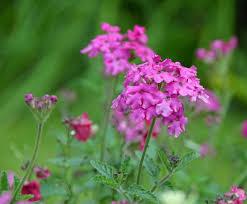 kinlochlaich garden blumen picture of