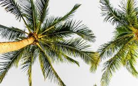 تحميل خلفيات أشجار النخيل ضد السماء جوز الهند أشجار النخيل