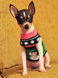 toy fox terrier home