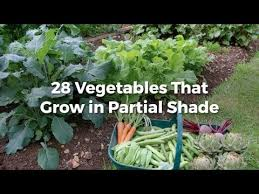 vegetables that grow in partial shade