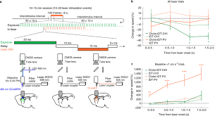 optogenetic stimulation of interneuron